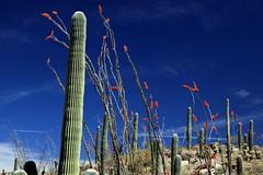 Hilltop Spectacle:  Saguaro National Park (jswensen2012) Tags: cactus saguarocactus ocotillo desert sonorandesert rinconmountains saguaronationalpark arizona