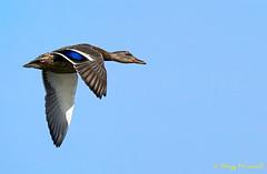 A9005434 (Roy Prasad) Tags: green sony a9 600mm f4 prasad royprasad bird shorelinepark mountainview california nature water reflection bokeh duck flight bif