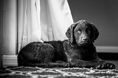 Bessie3 (medic1photography) Tags: animal arizona blackandwhite canine cimarron dog northamerica phoenix puppy theamericas usa animalthemes cute domesticanimals gray horizontal labradorretriever mammal monochrome nopeople one pets portrait retriever studio unitedstatesofamerica