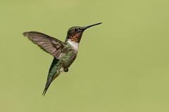 Ruby throated hummingbird (Lynn Tweedie) Tags: bokeh beak tail wing rubythroatedhummingbird canon ngc animal male 7dmarkii feathers bird green eos ef400mm56lusm missouri eye