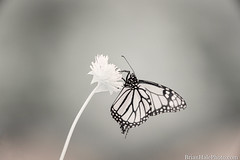 720nm infrared monarch (Brian M Hale) Tags: ir infrared kolari vision kolarivisioin butterfly monarch insect outside outdoors nature tower hill botanic botanical garden boylston ma mass massachusetts newengland usa 720nm