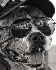 Chien à lunettes 😎 (streetspirit13) Tags: reflection chien dog streetphotographer streetpassionaward marseillestreet bnwstreetphoto bnw blancoynegro lunettes noiretblanc psp funny