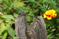 Greeneyed dragonfly 1 (srkirad) Tags: animal insect dragonfly greeneye outside nature flower fence wood tršić serbia srbija travel macro closeup bokeh blur dof depthoffield wildlife