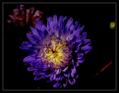 Aster. (andrzejskałuba) Tags: poland polska pieszyce dolnyśląsk silesia sudety europe plant plants roślina rośliny kwiat kwiaty flower flora floral flowers purpura purple yellow żółty macro natura nature natural natureshot natureworld nikoncoolpixb500 naturephotographer aster zieleń green garden ogród red color cień czerwony colour pąki beautiful beauty buds beautyofnature day outdoor nopeople lato shadow summer 1000v40f 1500v60f