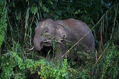 Not All Those Who Wander Are Lost (Megan Lorenz) Tags: elephant pygmyelephant endangered endangeredspecies animal mammal nature wildlife wild wildanimals borneo malaysia kinabatanganriver travel mlorenz meganlorenz asianelephant