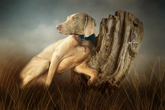 Weimaraner....Sterling....(Explored) (Patlees) Tags: dog weimaraner textured dt explored frontpage