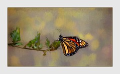 The Elusive Butterfly (Christina's World : updated bio) Tags: 0279 butterfly monarch textures yellow leaves nature naturepreserve sandiego summer california colorful colors bokeh border garden topaz branch exhibitionoftalent paintedlady