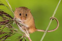 Harvest Mouse (Linda Martin Photography) Tags: captivelight wildlife harvestmouse nature hampshire micromysminutus mouse uk animal naturethroughthelens coth alittlebeauty ngc specanimal coth5 npc