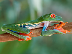Rainette aux yeux rouges** Gaudy Leaf Frog** Costa Rica (geolis06) Tags: nature agalychniscallidryas gaudyleaffrog amphibiengrenouille naturecostarica rainetteauxyeuxrouges costa america olympus rica amérique geolis06 amphibian grenouille anfibio amphibien olympuspenf olympusmzuikomacroobjectif60mmf28