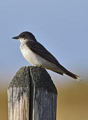 I'm the King of the Castle.... (Snixy_85) Tags: kingbird easternkingbird tyrannustyrannus
