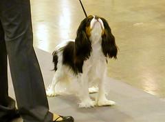 Cavalier King Charles Spaniels (M.P.N.texan) Tags: dog pet purebred spaniel cavalierkingcharlesspaniel showdog dogshow houston toydog