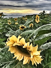 Sunflower Field (Hammerhead27) Tags: perspective view sky sunset edit snapseed iphone nature bloom plant crop field sunflower