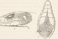 This image is taken from Page 59 of Chinese amphibians and reptiles in the United States National museum (Medical Heritage Library, Inc.) Tags: amphibians reptiles wellcomelibrary ukmhl medicalheritagelibrary europeanlibraries date1925 idb29821241