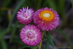 Everlasting daisies. Strawflower. Xerochrysum bracteatum (Tatters ✾) Tags: australia flowers xerochrysumbracteatum xerochrysum asteraceae pinkflowers 3flowers