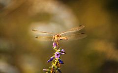 Dragonfly (Inka56) Tags: dragonfly sunsetglow sunsetlight flowers macro closeup bokeh goldenhour wildlife wildflowers