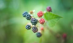 Berries (Dhina A) Tags: sony a7rii ilce7rm2 a7r2 a7r kaleinar mc 100mm f28 kaleinar100mmf28 5n m42 nikonf russian ussr soviet 6blades manualfocus black red berries summer