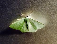 Visiteur du soir (Faapuroa) Tags: insecte insect papillon butterfly mite