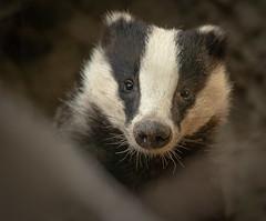 Dachs - Badger (hardy-gjK) Tags: dachs gadget le blaireau tier animal mammal hardy nikon nature wildlife portrait