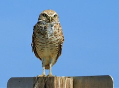 Burrowing Owl on a road sign. (Ruby 2417) Tags: diurnal owl bird wildlife nature rare rarity threatened endangered road sign davis country