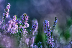 27082019-DSC_0059 (vidjanma) Tags: bokeh bruyère fleurs