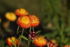 Everlasting daisies. Strawflower. Xerochrysum bracteatum (Tatters ✾) Tags: xerochrysumbracteatum xerochrysum asteraceae orangeflowers