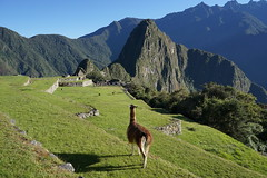 Even llamas admire the landscape (Chemose) Tags: sony ilce7m2 alpha7ii mai may pérou peru machupicchu landscape paysage montagne mountain cité city architecture light lumière matin morning ombre shadow llama animal lama