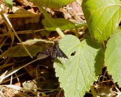 Hemipenthes morio (rockwolf) Tags: hemipenthesmorio diptera bombyliidae anthracinemorio beefly insect forêtdesenonches parcduperche france 2019 rockwolf