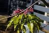Winter flowering tree - Melicope rubra -  'Little Evodia' (Tatters ✾) Tags: australia flowers cauliflorous melicoperubra melicope evodiellamuelleri pinkarfflowers pinkflowers rutaceae qrfp queensland flickronly