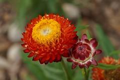 Everlasting daisies. Strawflower. Xerochrysum bracteatum (Tatters ✾) Tags: australia flowers xerochrysumbracteatum xerochrysum asteraceae orangeflowers