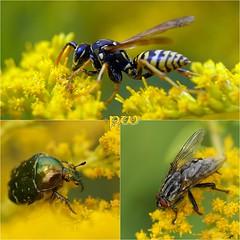 Makropirsch..(1) (peterphot) Tags: käfer insekten makro august garten sony