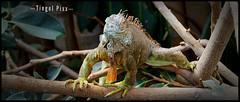 Iguana (tingel79) Tags: iguana leguan animal animalface tiere echse natur nature photographie photography photograph sony ngc reptil nationalgeographicgroup soe