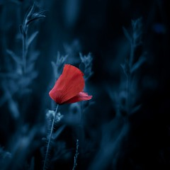 (una cierta mirada) Tags: flower nature macro bokeh red blue dark grasses poppy canon eos 50d ef50mm f14 usm