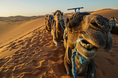 Sopwith Camel (CharlieKappa) Tags: camels desert wideangle funny sunset