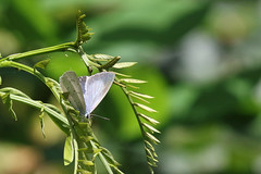 Celastrina argiolus (f) (Roy Lowry) Tags: celastrinaargiolus hollyblue butterfly liverpoolfestivalpark