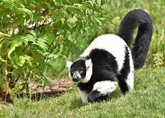 Black and White Ruffed Lemur (Racquel Heron) Tags: blackandwhiteruffedlemur ruffedlemur lemur nature animal mammal primate zoo calgary ontario canada