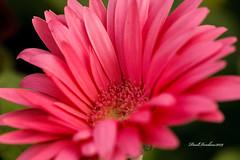 Hot Pink Gerber Daisy (psdenbow) Tags: gerberadaisy flower macro maryland canon tamron tamron90