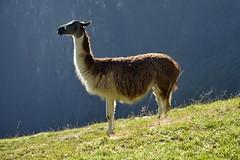 Llama under sun (Chemose) Tags: sony ilce7m2 alpha7ii mai may pérou peru machupicchu llama lama animal sun soleil