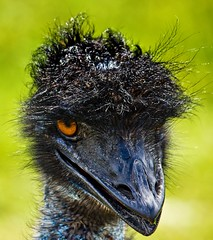 He with Orange Eyes (Bob's Digital Eye 2) Tags: aug2019 bird bobsdigitaleye2 canon canonefs55250mmf456isstm closeup emu eyes flicker flickr portrait wildlife safarinorth