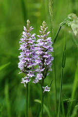 Wild Orchids (Dactylorhiza fuchii) (rumyanawhitcher) Tags: commonspotted flora floral macro nature orchidacea wild orchid dactylorhiza fuchsii dactylorhyza common spotted dactylorhizafuchsii