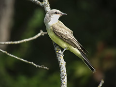 022 (chad1380) Tags: audubon birds flycatcher kingbird nature trac westernkingbird weki