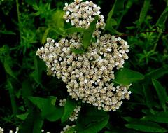 Flowers (In the Forest) (galterrashulc) Tags: latvia riga jugla rīga latvija lettland flowers flora nature summer green meadow field irina galitskaya galterrashulc