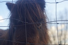 Pony (情事針寸II) Tags: ngc horse nature closeup animal pony