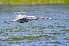 First Bird In Flight Shot (DaPuglet) Tags: heron herons greatblueheron blue bird birds animal animals wildbirds nature wildlife river water flight flying fly riverrainpark ottawa ontario wadingbirds wetlands feathers beak canada northamerica great marsh wading ardeaherodias ardeidae kingsview park specanimal coth coth5 alittlebeauty