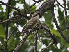 074 (chad1380) Tags: audubon birds flycatcher kingbird nature trac westernkingbird weki