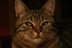 Elle ne m'a pas vu (FrançoiseEve) Tags: chat oeil yeux nez oreilles poils moustache regard doux