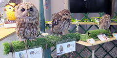Cuddles,Star and Chester (billnbenj) Tags: barrow cumbria owl tawnyowl littleowl westernscreechowl raptor birdofprey