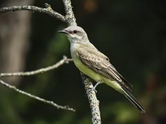 024 (chad1380) Tags: audubon birds flycatcher kingbird nature trac westernkingbird weki
