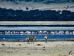 NGORONGORO CRATER FLOOR (eliewolfphotography) Tags: wildlife wildlifephotographer wildlifephotography wildafrica animals africa african tanzania nature naturelovers nikon naturephotography ngorongoro natgeo ngorongorcrater nationalgeographic zebra flamingo landscapes
