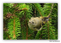 Goldcrest (Juv) (pete. #hwcp) Tags: goldcrest juv