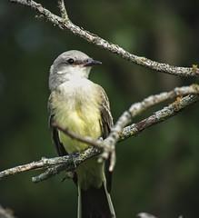 031 (chad1380) Tags: audubon birds flycatcher kingbird nature trac westernkingbird weki